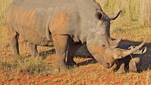 Rhino Conservation Experience in South Africa